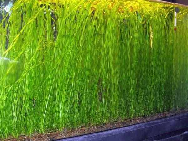 Валлиснерия спиральная - прекрасное аквариумное растение