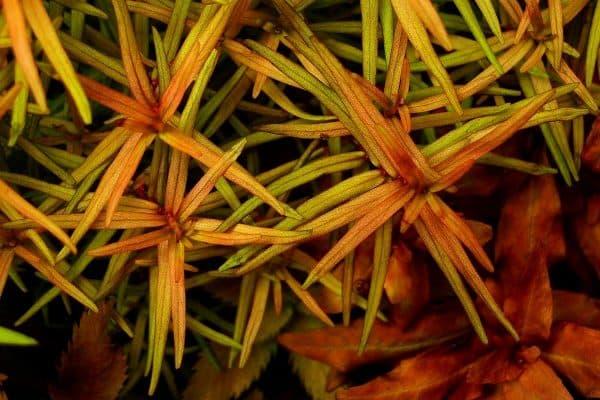 Дидиплис - аквариумное растение