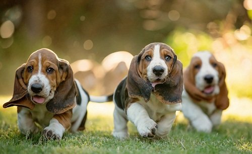 собака бассет хаунд фото и описание