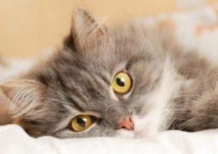Источники кошачьего хламидиоза, его влияние на организм кошки и способы лечения