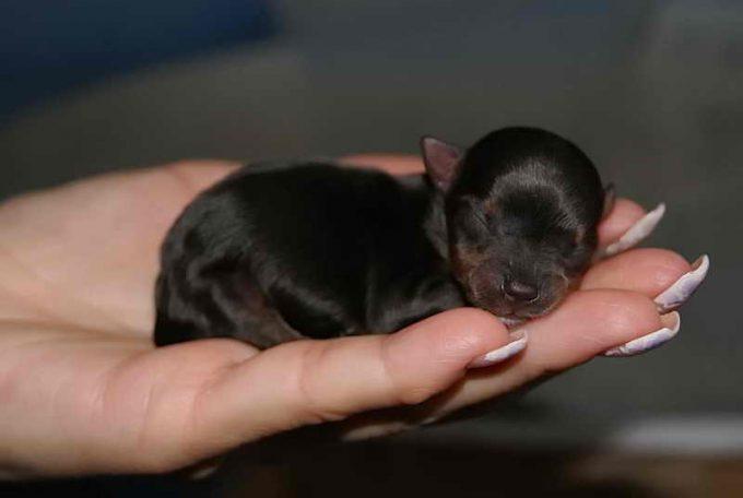 рождение щенка