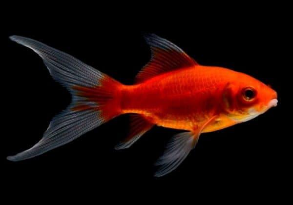 Комета - прекрасная аквариумная рыбка