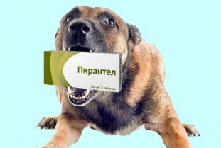 Как правильно применять Пирантел у собак?