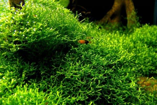 Риччия - аквариумное растение