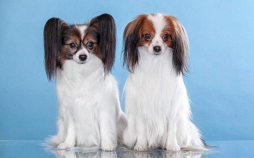 порода собак фален