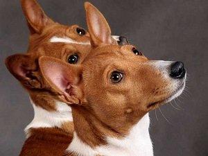 купить собаку басенджи