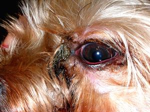 у собаки гноится глаз что делать