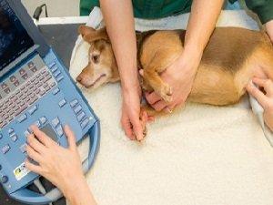 узи печени у собаки описание