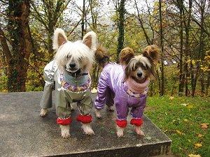порода собаки голая хохлатая