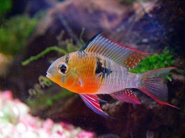 Бабочка боливийская - красивая рыбка в аквариуме