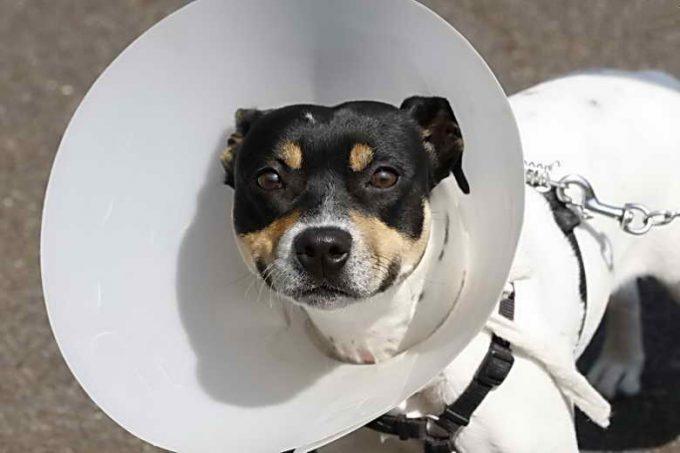как чувствует себя собака после стерилизации