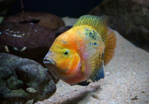 Радужная цихлазома - прекрасная рыбка в аквариуме