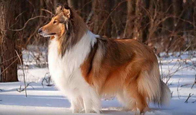 уход за длинношерстной породой собаки при перхоти