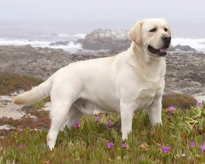 лабрадор-ретривер входит в число добрейших пород собак