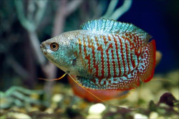 Гурами замечательная рыбка