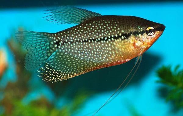 Гурами жемчужный красивая рыбка