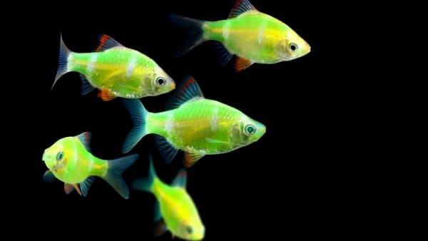 Характер светящихся рыбок
