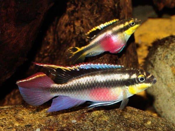 Пельвикахромис пульхер характер рыбки