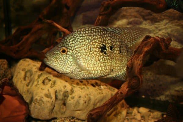 Бриллиантовая цихлазома - красивая рыбка