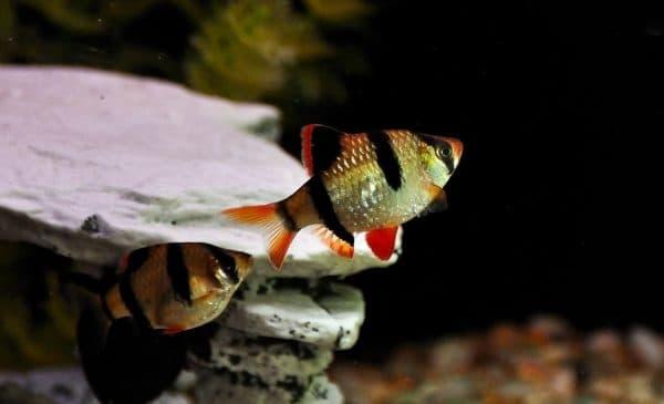 Суматранский барбус рыба