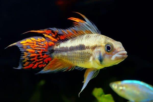 Апистограмма какаду - красивая рыбка в аквариуме