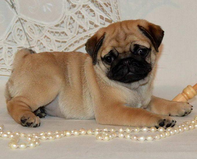 мопс добрая и нежная собака для детей