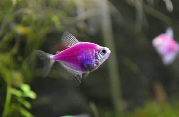 Светящиеся рыбки в аквариуме фото