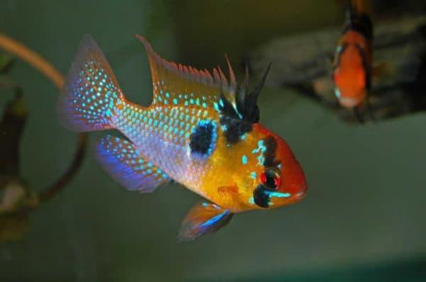 Апистограммы Рамирези красивые рыбки