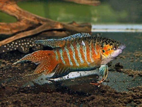 Макропод - удивительная рыбка