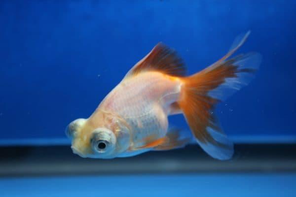 Рыбка телескоп в аквариуме