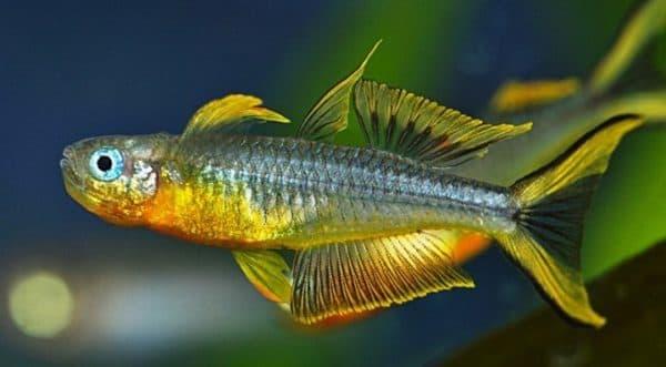Попондетта фурката - прекрасная рыбка