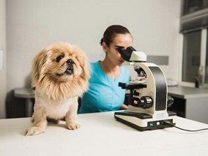 анаплазмоз у собак симптомы и лечение