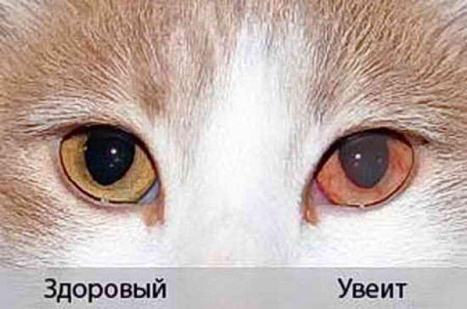 болезнь глаз у кошек увеит, причина анизокории