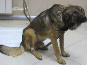 мочекаменная болезнь симптомы и лечение у собак