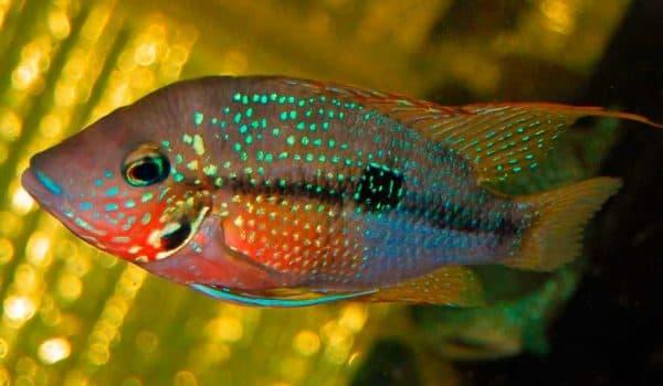 Цихлазома Элиота - красивая рыбка в аквариуме