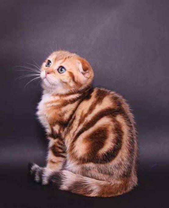 редкий окрас шотландской вислоухой кошки