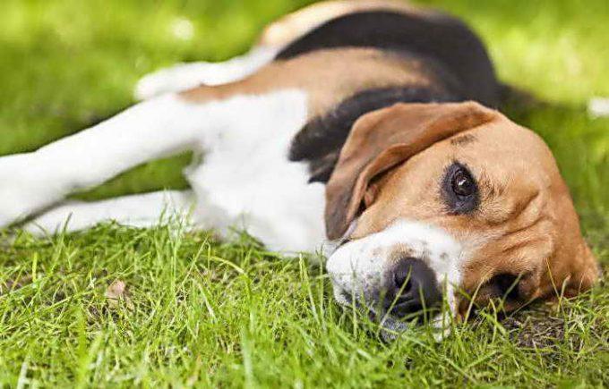 собаке легко подцепить клеща
