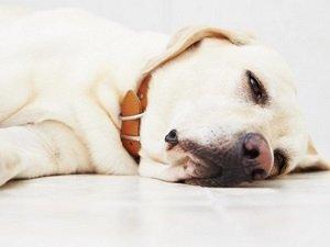 гипогликемия у собак мелких пород симптомы