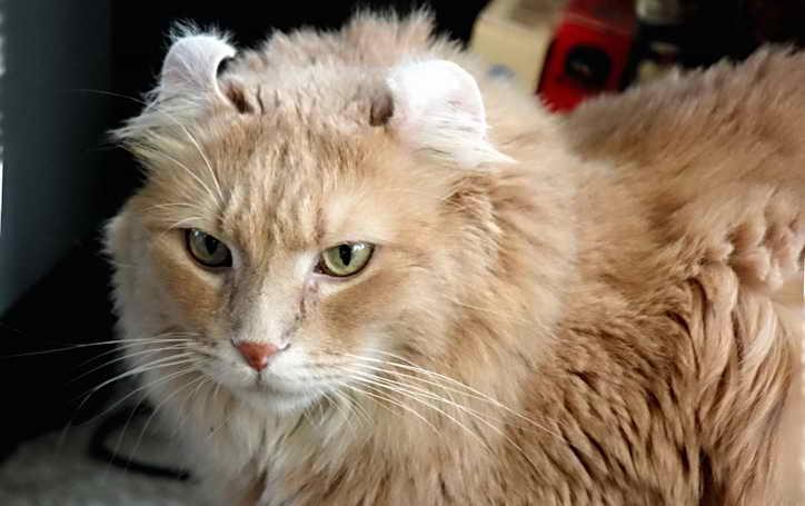 одна из самых дорогих пород кошек керл