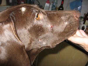 пиодермия у собаки лечение фото