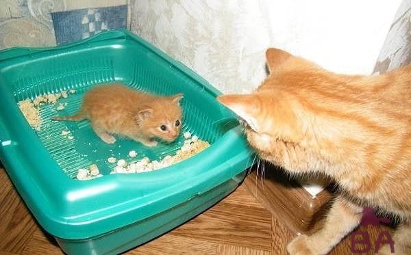 Приучают ли кошки своих котят к лотку