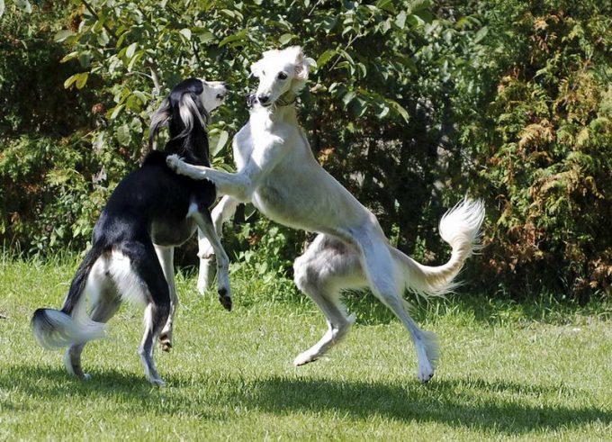 фото собаки персидская борзая