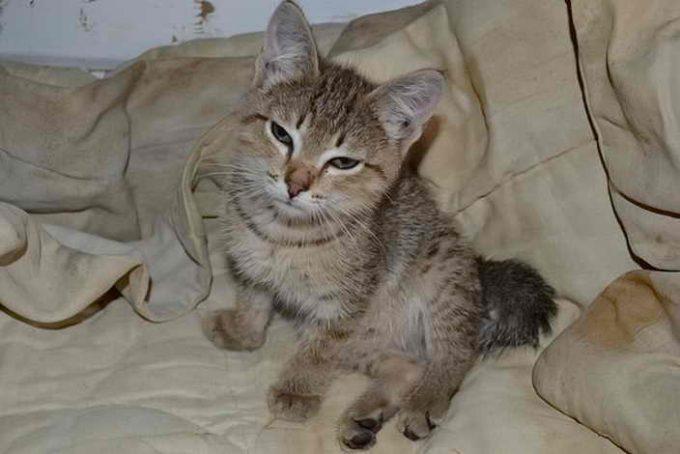 поведение котенка больного рахитом