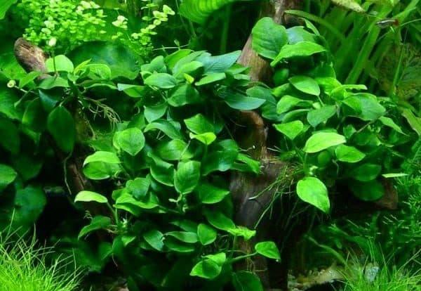 Анубиас нана - прекрасное растение
