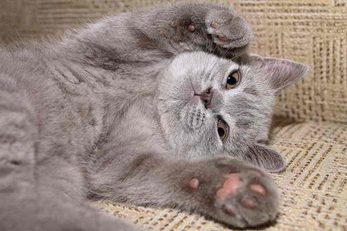сколько пальцев у кошки в норме