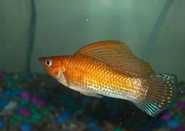 Моллинезия велифера - красивая аквариумная рыбка