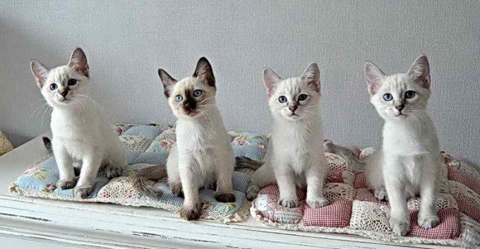 котята тайской породы кошек