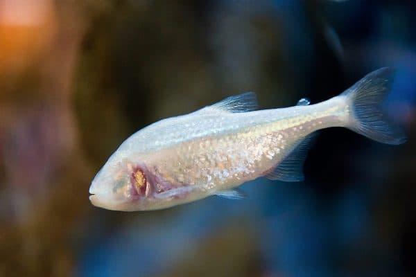 Слепая пещерная рыба в аквариуме