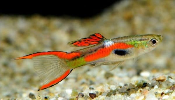 Гуппи Эндлера - прекрасная рыбка