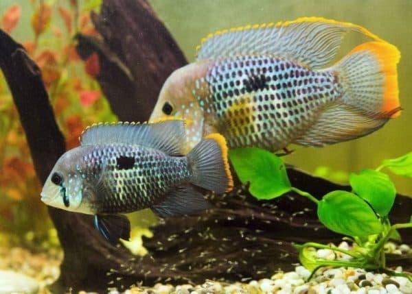 Акара рыбка